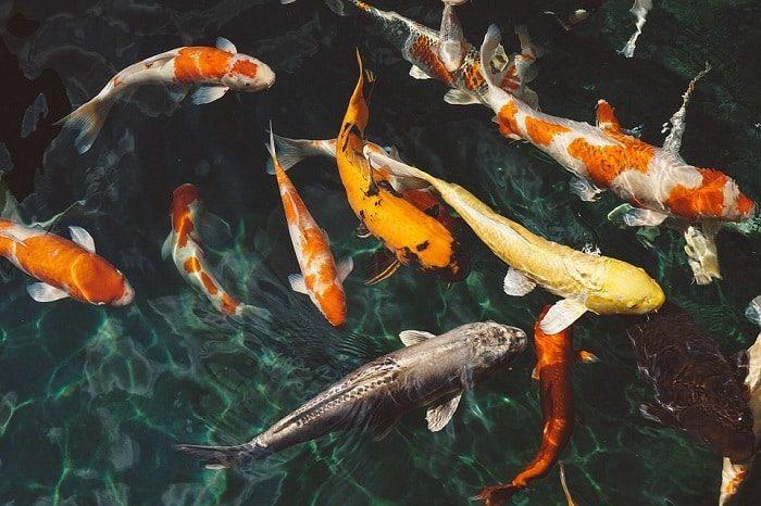 Cá chép phong thủy